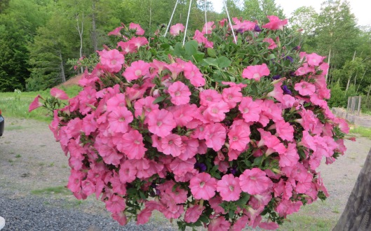 Supertunia that needs no picking of deceased blooms, usually purchased locally from Brooklin Gardens each year.